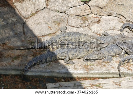 Many american alligators (crocodiles) sleeping in the sun on rocks