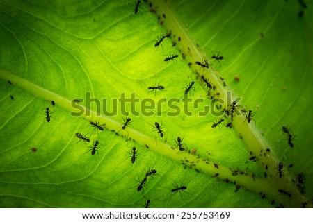 Many ant on leaf - stock photo