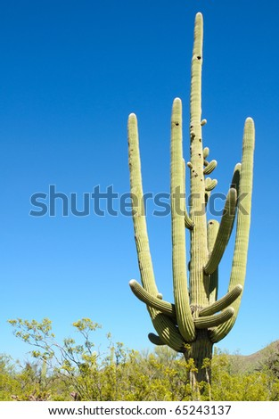 many arms of a saguaro cactus - stock photo