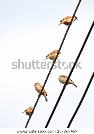 many asian brown sparrow on electric cable wires under morning sunlight on a sunny day with light clear blue sky background - stock photo