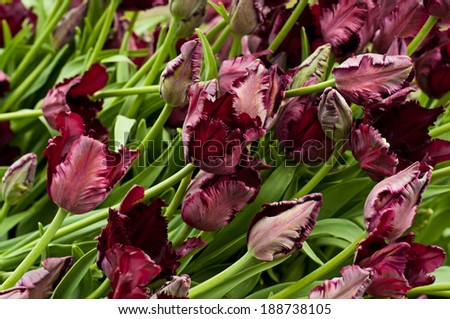 Many Beautiful dark pink tulips in the garden