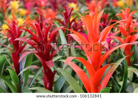 many beautiful guzmania magnifica flower as floral background - stock photo
