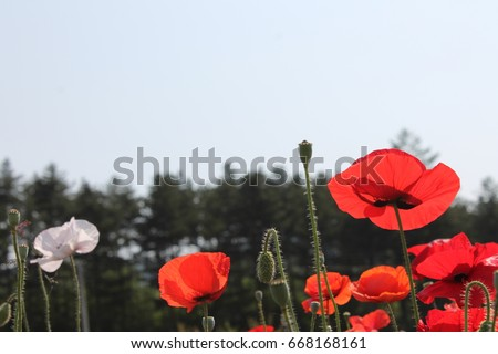 Many Beautiful Poppy Flowers In Korea