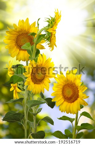 many beautiful sunflowers in the field closeup - stock photo