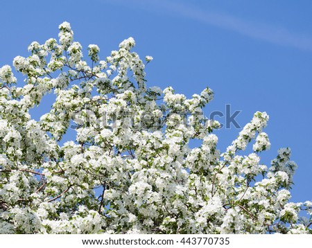 many beautiful white curvy delicate flowers on the branches of apple trees were in the early spring on a background of a bright blue spring sky in the garden - stock photo