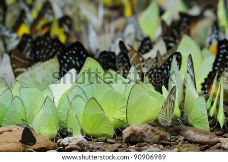 Many Beautiful. Wild Butterflies Seen in Thailand - stock photo