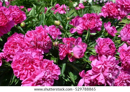 Many big sunny pink peony flowers in the garden in spring