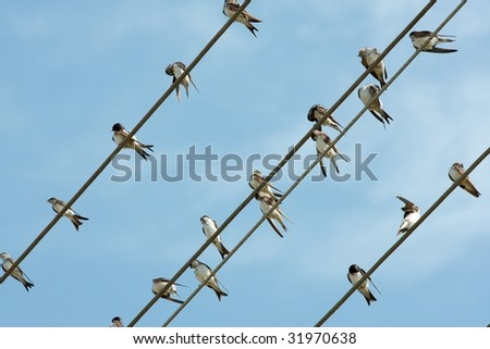 Many birds sitting on the electric cables