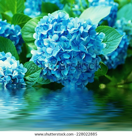 Many blue hydrangea flowers growing in the garden with water reflection, floral background - stock photo