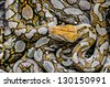 Many Boa snake for background - stock photo