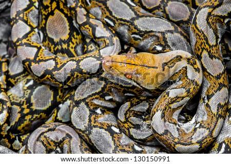 Many Boa snake for background - stock photo
