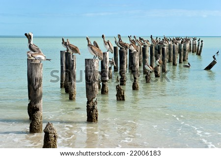 many brown pelicans standing on a pier post. - stock photo