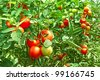 Many bunches with ripe red and unripe green tomatoes that growing in greenhouse - stock photo