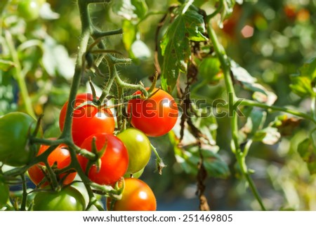 Many bunches with ripe red and unripe green tomatoes that growing in Thailand open farm.