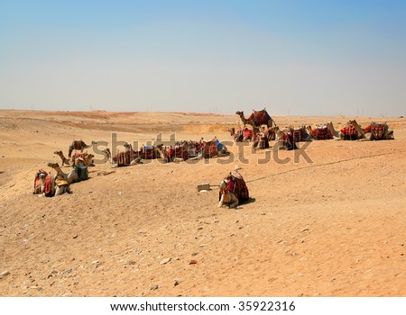 Many camels in the desert - stock photo