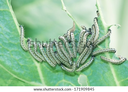 Many caterpillars of cabbage butterfly eat cabbage leaf - stock photo