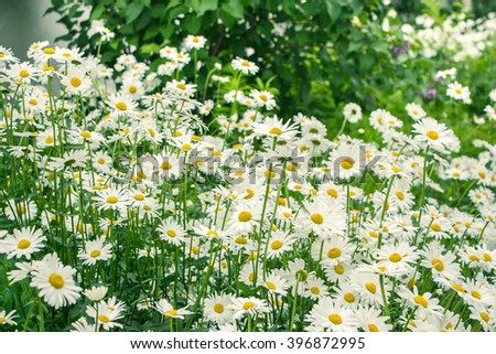Many Chamomile flowers in the garden.A lot of Blooming chamomiles on a meadow in summer. Wild White chamomile flowers on a field. Shallow depth of field. Blurred background. Symbol of summer beginning - stock photo