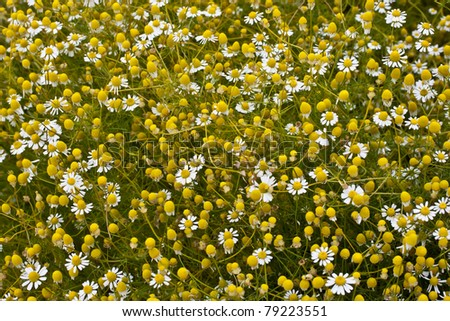 Many chamomile flowers on wide field under midday sun