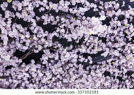 many cherry blossoms for pattern and texture. - stock photo