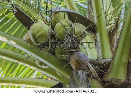 Many coconut on coconut tree - stock photo