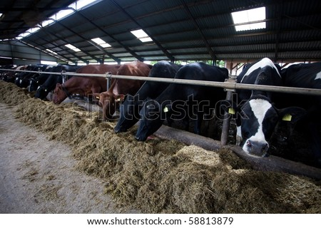 Many cows feeding in large cowshed - stock photo