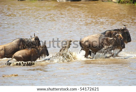 Many Crocodiles (Crocodylus niloticus) in the river in Kenya trying to grab Bluewildebeest crossing the river - stock photo