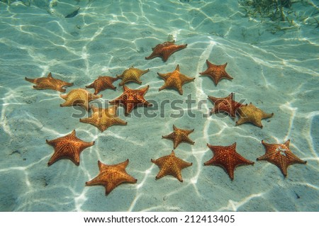 many cushion sea star on sand underwater in the Caribbean sea, Bocas del Toro, Panama, Central America - stock photo