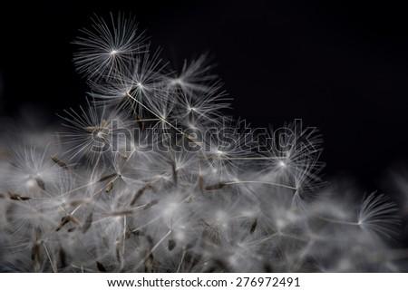 Many dandelion seeds, closeup flower feather. Dandelion seeds. - stock photo