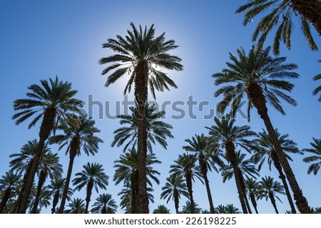 many date palms with the sun behind one - stock photo