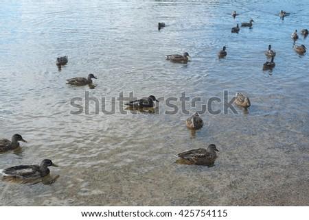 Many ducks swimming in lake  - stock photo