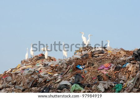 many egrets on the garbage heap