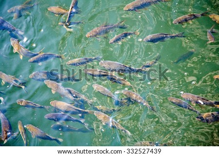 many fish called the carp swim in the clear water - stock photo