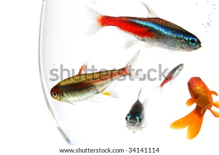 many fishes in a too small bowl - stock photo