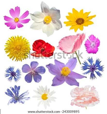 Many flowers isolated. Chamomile, sunflower, dandelion, poppy, snowdrop, cornflower, wild geranium, carnation on the white background.