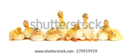 Many fluffy baby ducklings isolated - stock photo
