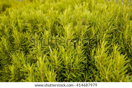 many fresh sprigs of rosemary closeup with filter - stock photo