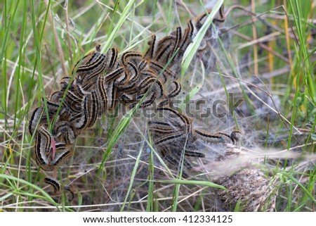 many furry caterpillars in green grass with natural cobwebs.  - stock photo