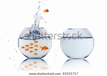 many gold fish together as symbol of teamwork - stock photo