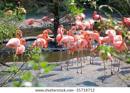Many Greater Flamingos in natural background