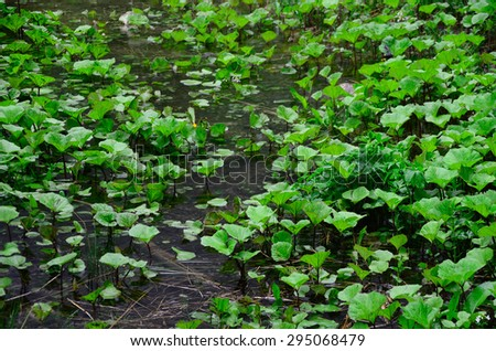 many green aquatic plants on the edge of lake - stock photo
