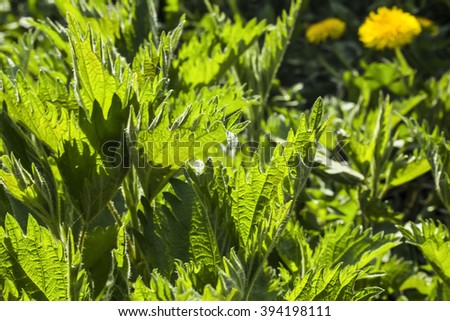 many green leaves dioica nettle - stock photo