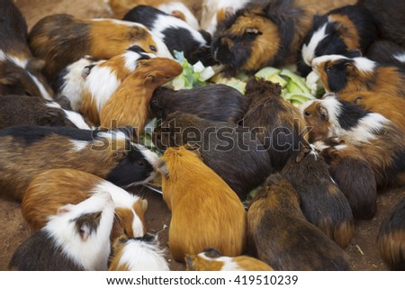 many guinea pigs cabbage dinner outdoors