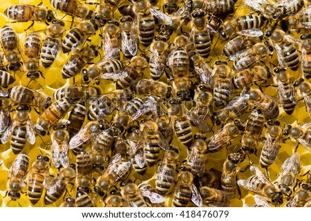 Many honey bees of (Apis mellifera) on a wax comb in hive - stock photo