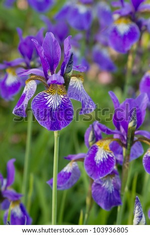 Many irises with purple blossoms with shallow depth of field - stock photo