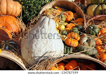 many kinds of pumpkins, gourds, and squashes under sunshine day - stock photo
