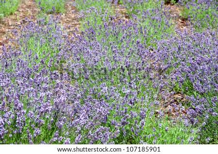 many lavenders - stock photo