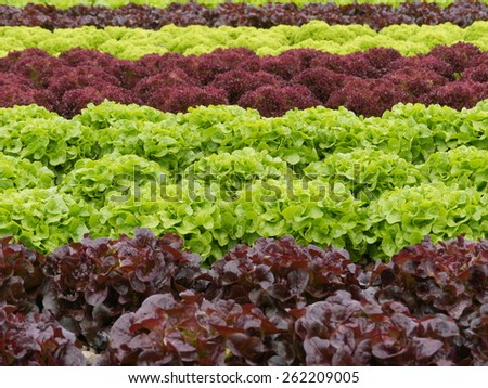 many lettuces in a row agriculture - stock photo