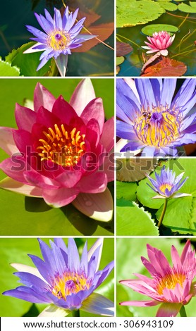 many lotus flowers in the water closeup