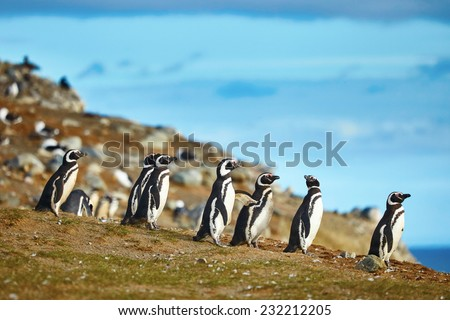 Many Magellanic penguins in natural environment on Magdalena island in Patagonia, Chile, South America - stock photo