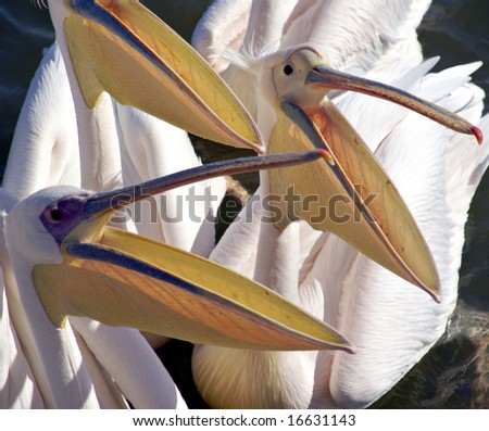Many mouths to feed - pelicans in Walvis Bay, Namibia - stock photo